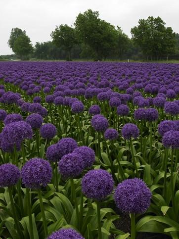Een veld vol Allium Globemaster