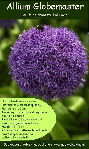 Een uitleg voor de planting van de Allium Globemaster
