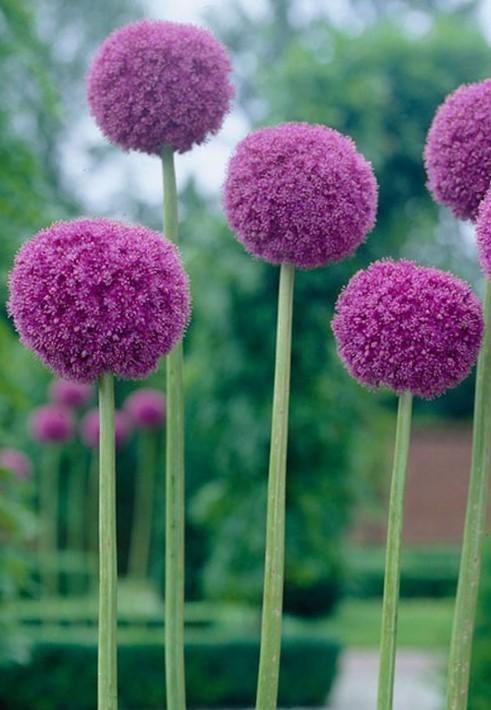 how to grow allium giganteum