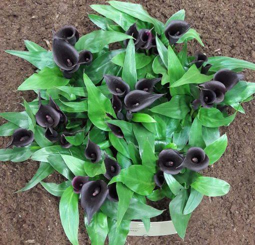 Zantedeschia zwart