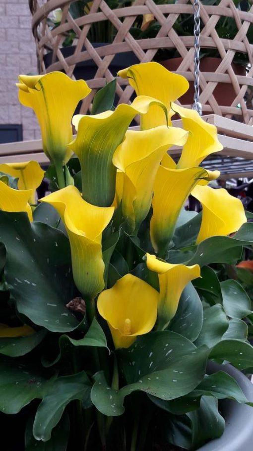Zantedeschia Morelli geel