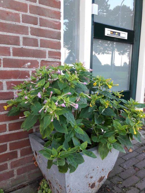Een bloeiende Mirabilis Jalapa in een pot