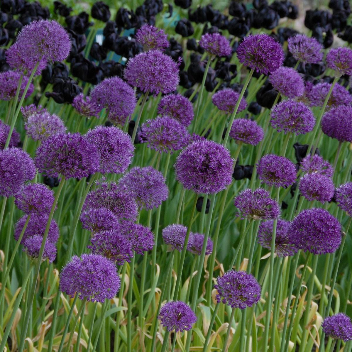 allium purple sensation de bloembol kraam. Black Bedroom Furniture Sets. Home Design Ideas