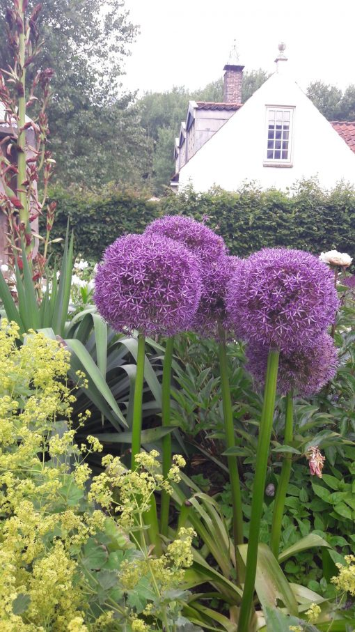 De Allium Globemaster in volle bloei