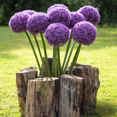 Paarse Allium Globemaster