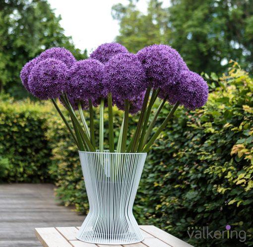 Allium Globemaster bloemen
