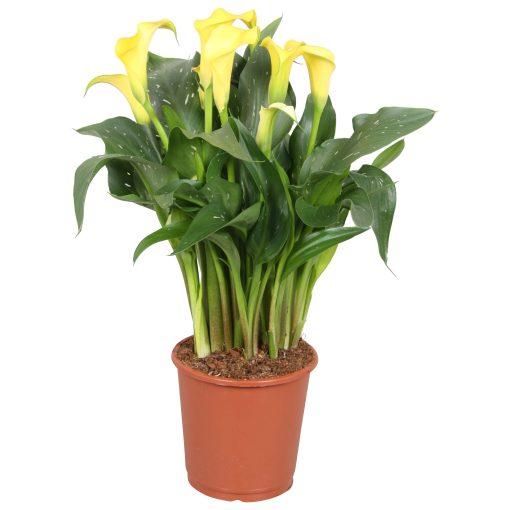 Zantedeschia geel