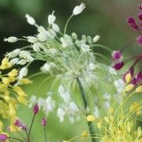 Allium Carinatum spp pulchellum album