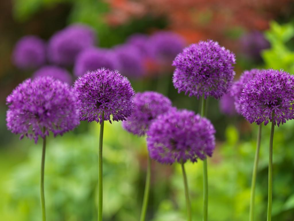 allium purple sensation gebr valkering. Black Bedroom Furniture Sets. Home Design Ideas